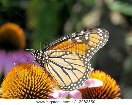 The Monarch butterfly on a purple coneflower on shore of the Lake Ontario in Toronto Canada August 8 2017