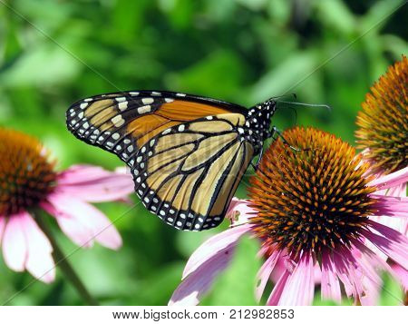 The Monarch butterfly on purple coneflower on shore of the Lake Ontario in Toronto Canada August 8 2017