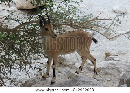 ibex standing on a cliff near a tree in Ein gedi, Israel