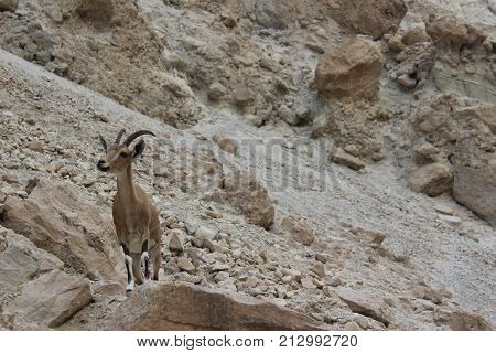 ibex standing on a cliff in Ein gedi, Israel