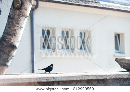European starling Perched busk on warm spring sunlight. Bright colored outdoors horizontal image.