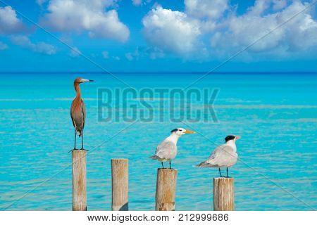 Royal Caspian terns and Reddish Egret heron birds in Caribbean sea