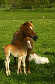 Hanoverian mare and foal in a paddock poster