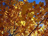Colored beech leaf , (Fagus sylvatica) , Autumn-colors poster