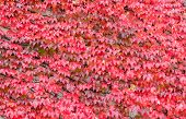 Beautiful bright red ivy background. Hedera or ivies vibrant red autumn leaves over stone wall for background or mockup. Red ivy close up. poster