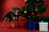 Chihuahua next to a Christmas tree on red poster