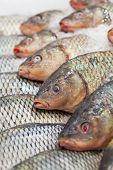 Frozen ice-cold fish in the store Frozen fish. Freshfish market. Gilt-head bream. Sea bream fish on ice. Fresh fish on ice for sale at market. poster