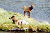Two elk on the green banks of the Madison river in Yellowstone National Park. poster