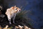 Closeup the head of a profile rat poster