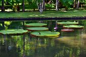 Bird sits on giant amazonian lily in water at the Pamplemousess botanical Gardens in Mauritius. Victoria amazonica Victoria regia poster