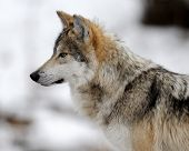 Profile of a Mexican gray wolf (Canis lupus baileyi) during winter poster