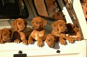 A beautiful litter of red wheaten African Rhodesian Ridgeback hound dog puppies with cute expression in the faces standing at the door of a pick-up car and watching other dogs in the backyard outdoors poster