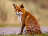 Red Fox (Vulpes vulpes) sitting and waiting patiently for something to happen. The beautiful wild animal of the wilderness. Shred looking in the camera. Eye to eye with a dodgy vulpine. One of the most grace wood inhabitant poster