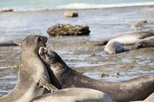 Seal at the beach from Peninsula Valdes poster