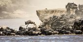 A herd of wildebeast crossing the mara river during the Great Migration in Kenya poster