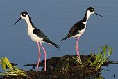 Black-necked Stilts (Himantopus mexicanus) in blue water poster