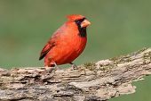 Male Northern Cardinal (cardinalis cardinalis) on a log with a green background poster