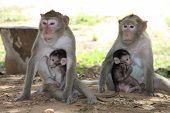 A Picture of Long-tailed Macaques family life on the ground under the tree in forest park. poster