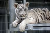 Royal White Bengal Tiger Cub Baby animal with black and white strips poster