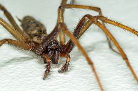 A Big Large Male Giant House Spider On A White Wall