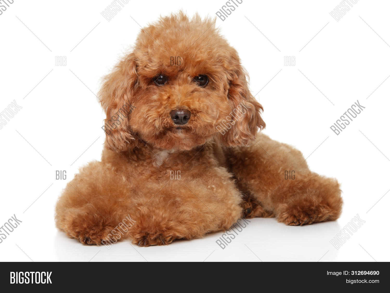 Funny Red Toy Poodle Image Photo Free Trial Bigstock