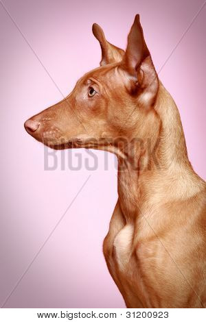 Pharaoh hound puppy. Close-up portrait, side view poster