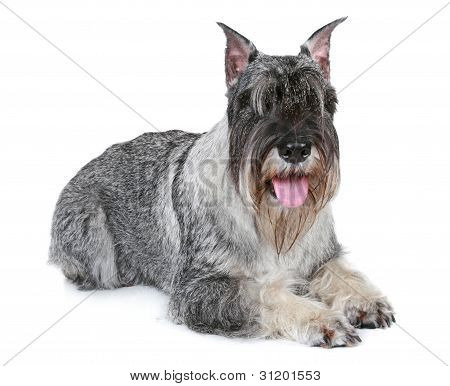 Mittel Schnauzer Dog Lying On A White Background