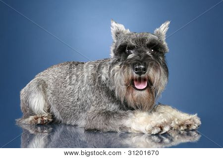 Schnauzer On Blue Background