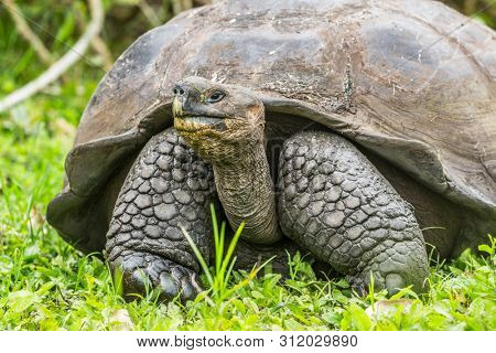 Animals. Galapagos Giant Tortoise on Santa Cruz Island in Galapagos Islands. Animals, nature and wildlife photo close up of tortoises in the highlands of Galapagos, Ecuador, South America.
