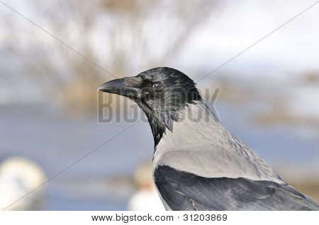 A close-up shot of a hooded crow (Corvus cornix) in profile poster