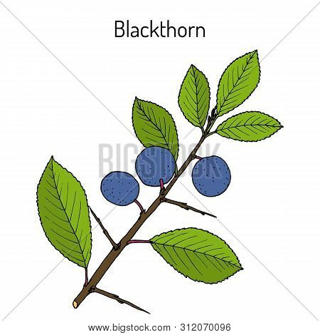 Blackthorn Prunus Spinosa , Or Sloe, Edible And Medicinal Plant. Hand Drawn Botanical Vector Illustr