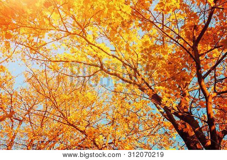 Autumn trees - orange autumn trees tops against blue sky. Autumn nature view of autumn trees in sunny day