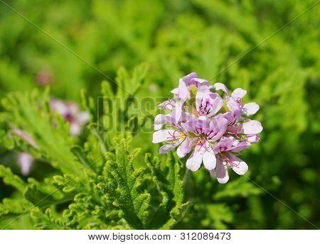 Pelargonium Attar Of Roses Scented Geranium Beautiful Flowers And Green Shallow Three-lobed Leaves C