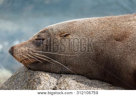 Sleeping Seal Takes A Rest On A Rock In Narooma After A Big Feed And A Playful Swim.