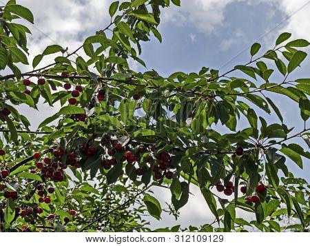 Cherry Or Morello Tree Full Of Sweet Appetising Red Fruits In The Garden, Jeleznitsa, Vitosha Mounta