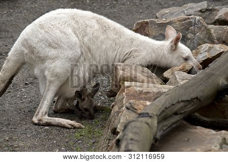 the albino kangaroo and a brown joey are boyh eating grass poster