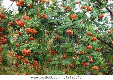 A Lot Of Orange Berries In The Leafage Of Sorbus Aucuparia In September