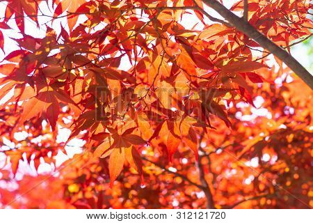 Red Maple Leaves On Tree In Natural.
