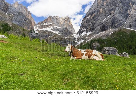 Cow On The Background Of The Marmolada Massif. Val Rosalia, Dolomites, Italy.