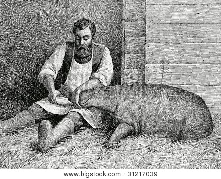 Hippo, who was born in St. Petersburg's zoo. Engraving by Angerer from picture by Obolensky . Published in magazine