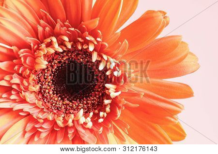 Selective Focus Of A Beautiful Abstract Macro Of A Coral Colored Gerbera Daisy With Water Drops Over