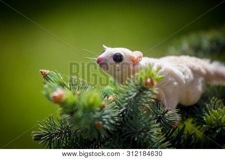 White Leucistic Sugar Glider On Branch In Garden