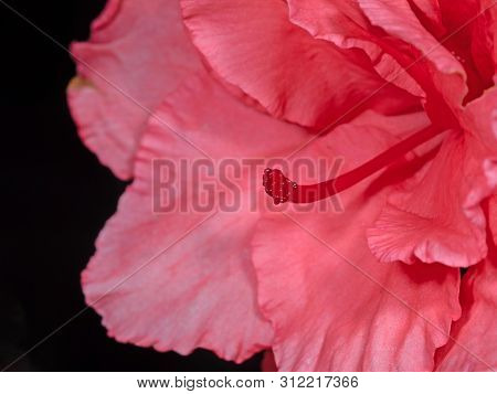 Closeup Stigma Of Pink Azalea Flower Isolated On Black Background