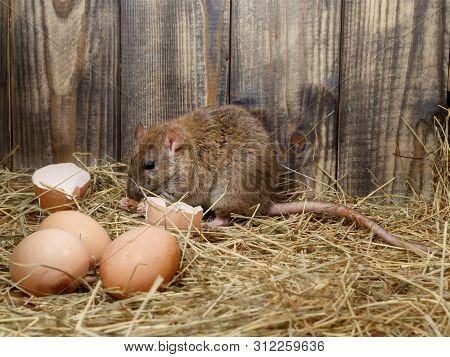 Close-up The Young Rat Rattus Norvegicus  Eats Hens Egg In The Chicken Coop. Concept Of Rodent Contr