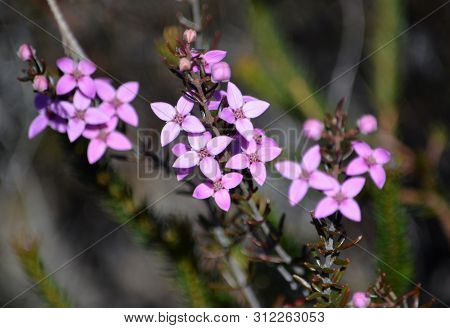 Pink Flowers And Buds Of Australian Native Boronia Ledifolia, Growing In Heath On The Little Marley