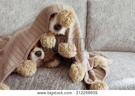Sick, Playful  Or Scared Two Dogs Covered With A Warm Tassel Blanket On Sofa