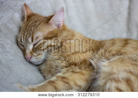 Adorable Sleeping Beige Streaky Cat Chilling On A Fluffy Blanket