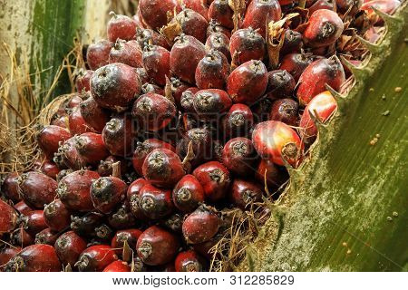 Close-up Of Oil Palm Fruit On A Tree. Palm Oil Cultivation Has Been Criticized For Impacts On The Na