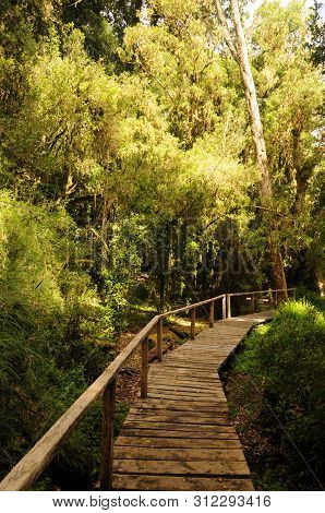 Wooden Path In Puyehue National Park, Pucon - Chile. Patagonian Hiking With Rainforest Wild Plants.