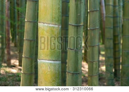 Bamboo Forest Trees Background View. Bamboo Forest Background. Bamboo Forrest Trees.